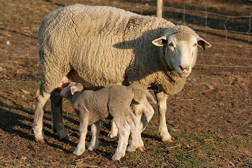when to wean lambs