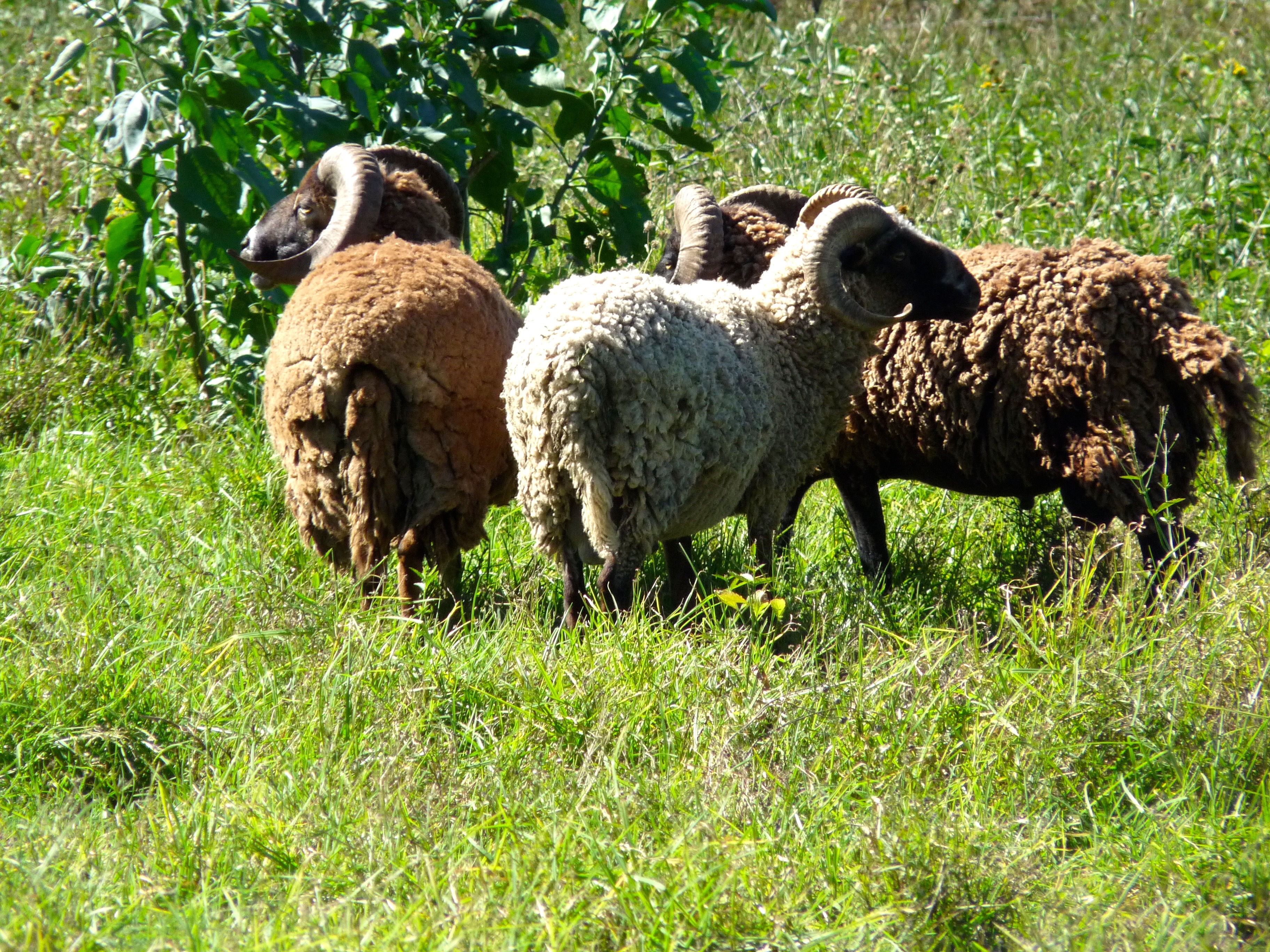 The End of Hawaii's Ancestral Sheep? - The Sheep Site
