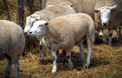 Texel sheep genome