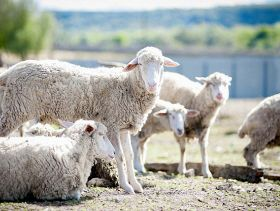 New Vaccines Could Help Prevent Sheep Infections