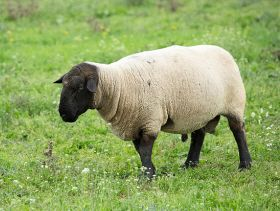 Sheep Farmers Urged to Help Sector Understand Ram Longevity