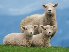 World First Sheep Sustainability Framework Launched